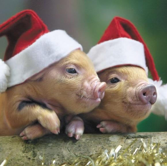 santa pigs